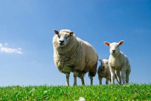 Morsink Dier & Hobby - schapenlammeren
